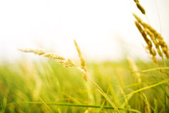 Field of Gold Royalty Free Stock Photography