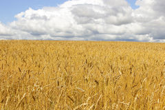 Field of Gold. Wheat field in Kemerovo Region Stock Photography