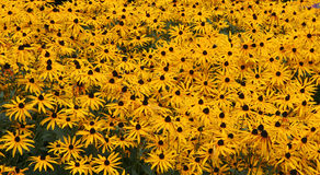 Field of Gold. Field of black eyed Daisies stock photos