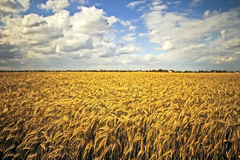 Field of gold Stock Photography