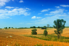 Field of gold royalty free stock photo