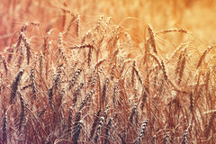 field with gold ears of wheat Royalty Free Stock Photo