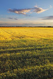 Field with gold ears of wheat in sunset Royalty Free Stock Image