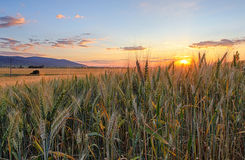 Field with gold ears of wheat in sunset Stock Photo