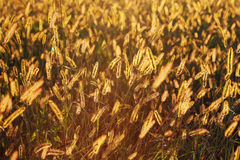 Field with gold ears of wheat in sunset Royalty Free Stock Photography
