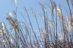 Field of Gold. Golden ornamental grass in a sunlit field Stock Photos