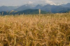A field of Gold grains in the summer Stock Photo