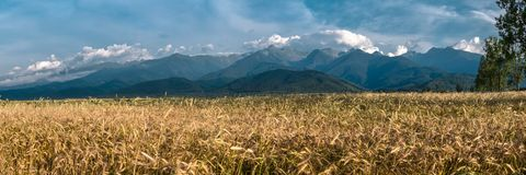A field of Gold grains in the summer Royalty Free Stock Photo