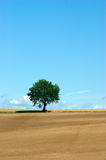 Field of Gold. Isolated tree in field just plowed Stock Photos