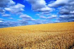 Field of gold and sky of blue stock images