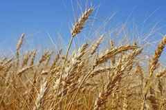 Field of gold wheat Stock Photography