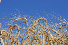 Field of gold wheat Royalty Free Stock Image