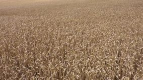 Field of golden cereals. In summer day stock video footage
