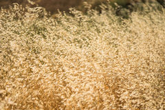 Field of Golden Grass Stock Photos