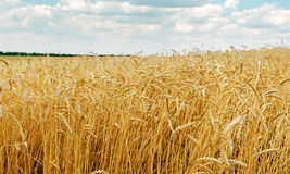 Field with golden harvest Royalty Free Stock Images