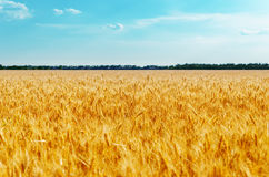 Field with golden harvest and blue sky Stock Photos