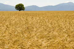 Field, golden with mountain. Stock Photos