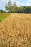 Field of golden oats Royalty Free Stock Photo