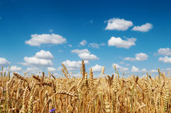Field of a golden ripe wheat Royalty Free Stock Photo