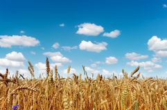 Field of a golden ripe wheat Royalty Free Stock Photos