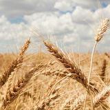 Field golden ripe wheat on a background of blue sky with clouds Stock Photography