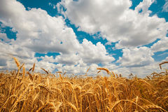 Field golden ripe wheat on a background of blue sky with clouds Stock Photos