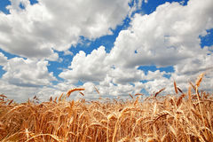 Field golden ripe wheat on a background of blue sky with clouds Royalty Free Stock Photography
