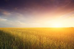 Golden Field and Beautiful Sunset. A field of golden ripe wheat at sunset Stock Photography