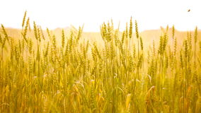 Field of golden rye close up stock video footage