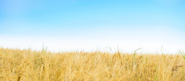 Field of Golden seed and blue sky. Banner of agriculture landscape royalty free stock images