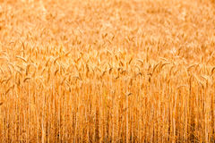 Field with golden spikelets Royalty Free Stock Images