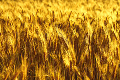 Field of golden spikes Royalty Free Stock Image