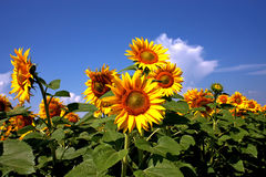 Field of golden sunflowers. Golden sunflowers, the blue sky and white clouds Royalty Free Stock Photos