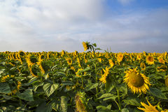 Field of golden sunflowers. Golden sunflowers, the blue sky and white clouds Stock Photos