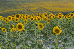 Field of golden sunflowers. At Recanati (Italy Stock Images