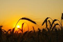 Field in golden sunset Stock Photo