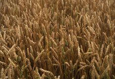Field of the golden wheat Royalty Free Stock Image