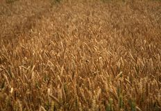 Field of the golden wheat stock photography