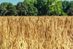 Field of golden wheat as background Stock Photo
