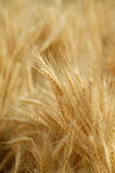 Field of golden wheat Stock Images