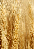Field of golden wheat Royalty Free Stock Photos