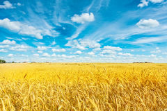 Field of golden wheat and cloudy sky Royalty Free Stock Images