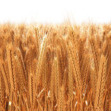 Wheat. Field of golden wheat ears. 3D image Stock Images