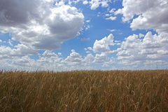 Field of golden wheat. Farm field of golden wheat with blue cloudy skies on sunny day Royalty Free Stock Photos