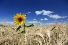 Field of golden wheat with lone sunflower  Stock Images