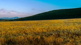 Field of golden wheat stock photography