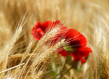 Field of golden wheat with red poppy flowers. Backgrounds and textures: field of golden wheat with red poppy flowers, agricultural abstract royalty free stock photography