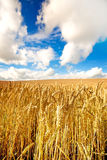 Field of golden wheat in summer Stock Images