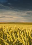 Field with golden wheat and sunset Stock Image