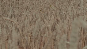 A field of golden wheat stock video footage